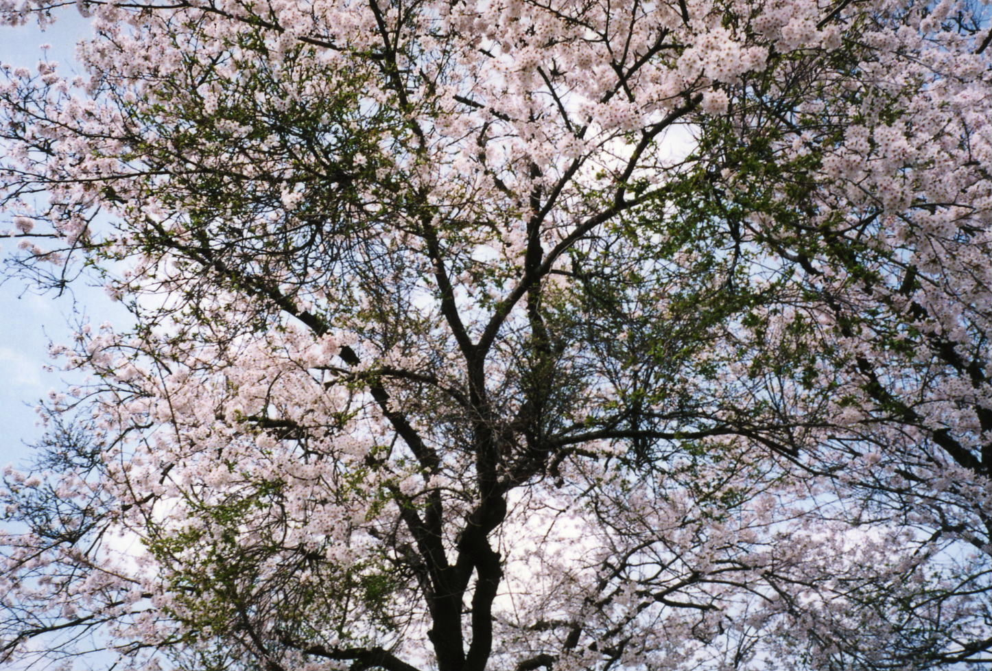 桜の名所づくり