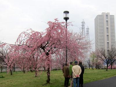 写真:小松川千本桜